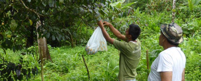 Picking Guayusa Tea at Amazon